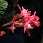 Bild: Blut-Johannisbeere Blüte rot Ribes sanguineum