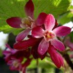 Blut Johannisbeere rote Bluete Ribes sanguineum 03