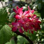 Blut Johannisbeere rote Bluete Ribes sanguineum 05