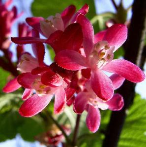 Blut Johannisbeere rote Bluete Ribes sanguineum 08