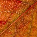 Blut Pflaume Frucht Prunus cerasifera nigra 01