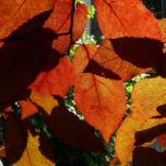 Blut Pflaume Frucht Prunus cerasifera nigra 02