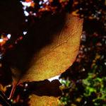 Blut Pflaume Frucht Prunus cerasifera nigra 03