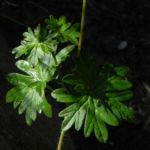 Blut Storchschnabel Blatt gruen Geranium sanguineum 05