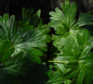 Blut Storchschnabel Blatt gruen Geranium sanguineum 06