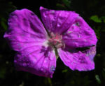 Blut Storchschnabel Bluete purpur Geranium sanguineum 04