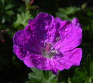 Blut Storchschnabel Bluete purpur Geranium sanguineum 07