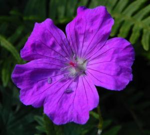 Blut-Storchschnabel Blatt grün Blüte pink Geranium sanguineum