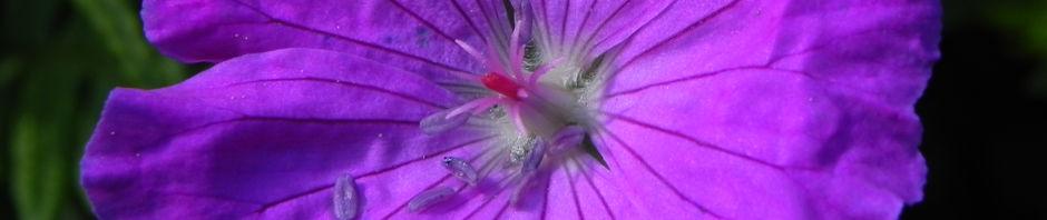 blut-storchschnabel-blatt-gruen-bluete-pink-geranium-sanguineum