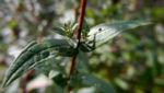 Blut Weiderich Blatt Staengel Lythrum salicaria 01