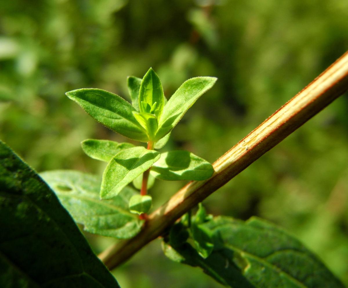 Blut Weiderich Blatt Staengel Lythrum salicaria
