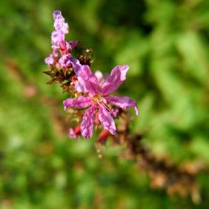 Blut-Weiderich Blatt Stängel Blüte pink Lythrum salicaria