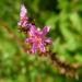 Zurück zum kompletten Bilderset Blut-Weiderich Blatt Stängel Blüte pink Lythrum salicaria