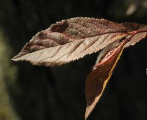 Blutpflaume Blatt roetlich Prunus cerasifera 03