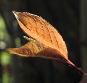 Blutpflaume Blatt roetlich Prunus cerasifera 06