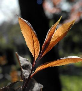 Blutpflaume Blatt roetlich Prunus cerasifera 07