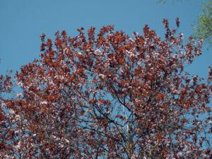 Blutpflaume Bluete weiß Prunus cerasifera 04