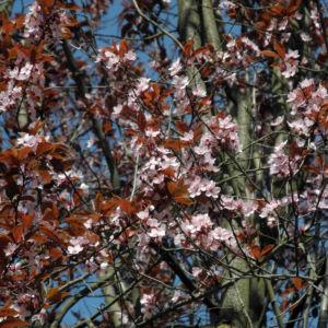 Blutpflaume Bluete weiß Prunus cerasifera 05