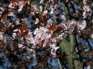 Blutpflaume Bluete weiß Prunus cerasifera 07