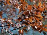 Bild:  Blutpflaume Blüte weiß Prunus cerasifera nigra