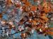 Zurück zum kompletten Bilderset Blutpflaume Blüte weiß Prunus cerasifera nigra