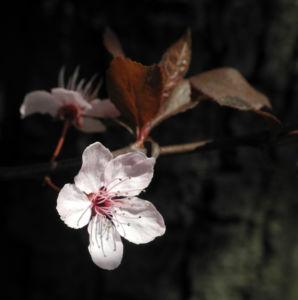 Blutpflaume Bluete weiß Prunus cerasifera 10
