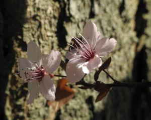 Blutpflaume Bluete weiß Prunus cerasifera 14