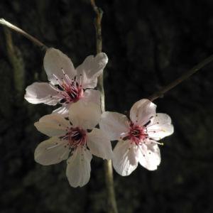 Blutpflaume Bluete weiß Prunus cerasifera 16