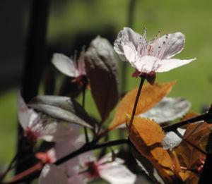 Blutpflaume Bluete weiß Prunus cerasifera 17