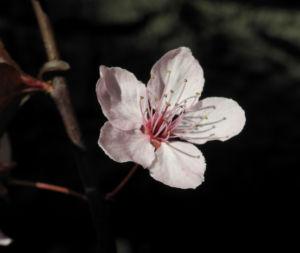 Blutpflaume Bluete weiß Prunus cerasifera 26