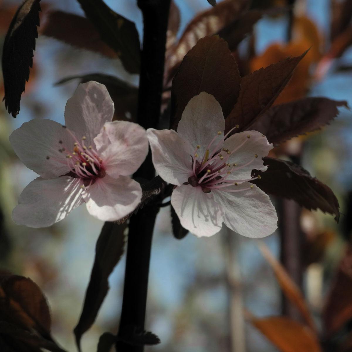Blutpflaume Bluete weiß Prunus cerasifera