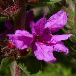Bild: Blutweiderich Lythrum salicaria