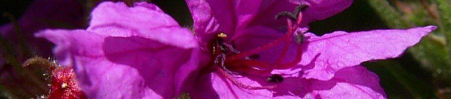 Anklicken um das ganze Bild zu sehen Blutweiderich Lythrum salicaria