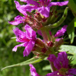 Blutweiderich Lythrum salicaria 06