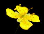 Blutwurz Fingerkraut Bluete gelb Potentilla erecta 01