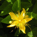 Bocks Johanniskraut Bluete gelb Hyperium hircinum 03