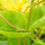 Bocks Johanniskraut Bluete gelb Hyperium hircinum 04