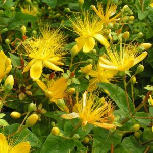 Bocks Johanniskraut Bluete gelb Hyperium hircinum 05