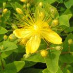 Bocks Johanniskraut Bluete gelb Hyperium hircinum 06
