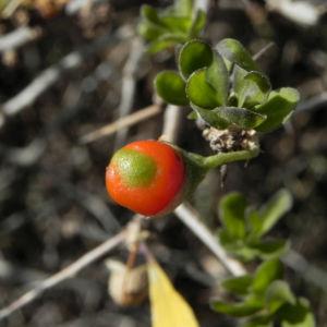 Bocksdorn Bluete lila Lycium ferocissimum01