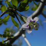Bocksdorn Bluete lila Lycium ferocissimum02