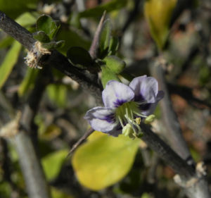 Bocksdorn Bluete lila Lycium ferocissimum05