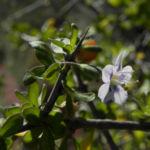 Bocksdorn Bluete lila Lycium ferocissimum07