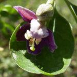 Bocksdorn gewoehnlicher Lycium barbarum 05