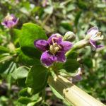 Bild: Gemeiner Bocksdorn Blüte lila Lycium barbarum