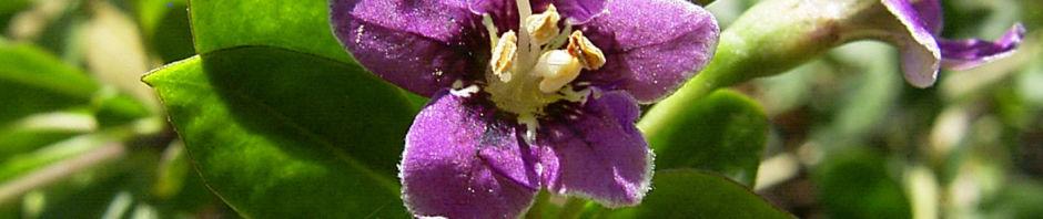 gemeiner-bocksdorn-bluete-lila-lycium-barbarum