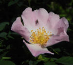 Bodendecker Rosen Bluete rosa Rosa nozomi 01