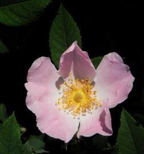 Bodendecker Rosen Bluete rosa Rosa nozomi 02