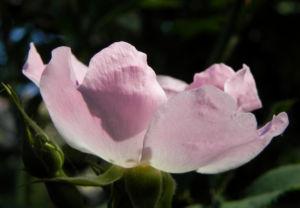 Bodendecker Rosen Bluete rosa Rosa nozomi 05
