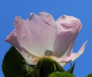 Bodendecker Rosen Bluete rosa Rosa nozomi 07
